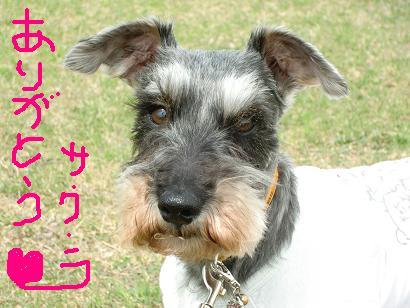 さくらちゃん (1)