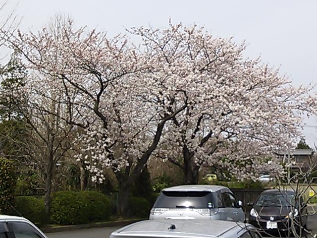 職場の桜2012