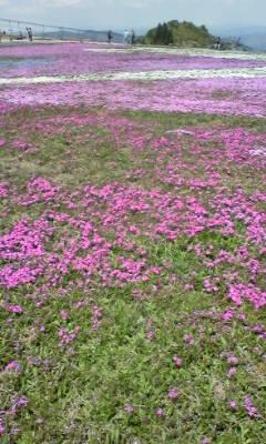 茶臼山の芝桜 20120521105653