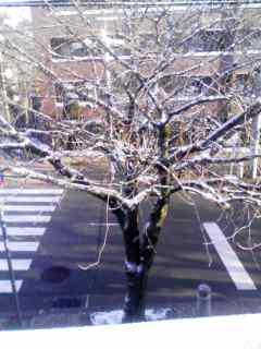 雪桜 130208_0801~001