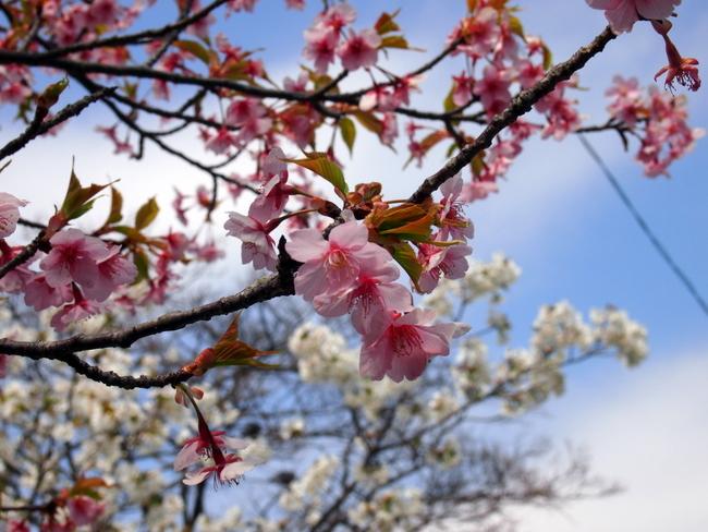 桜 咲いてましたね