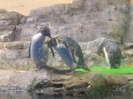 岩跳びペンギン