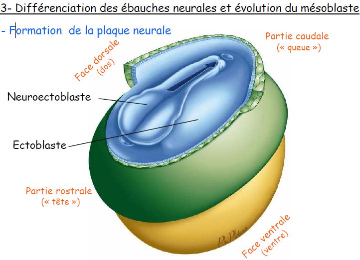 ebauches neurales