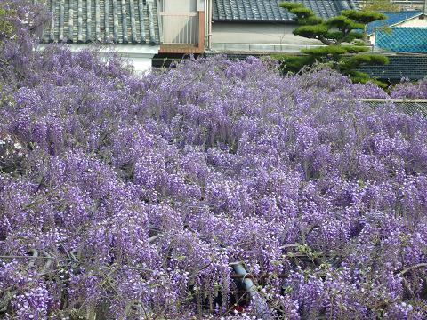 信達宿藤祭2