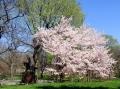 20120327_Cherry blossom-like tree_convert