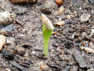 チマサンチュの芽