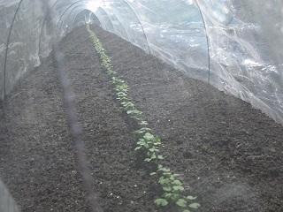 初の高菜栽培