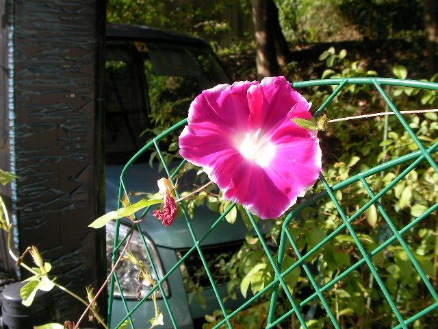 1003最後の朝顔の花①