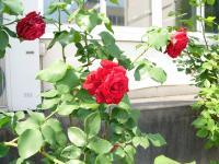 6.4 県大会のバラ