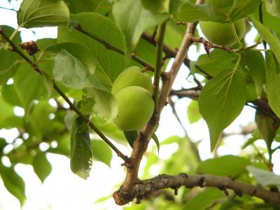 豊後梅の実