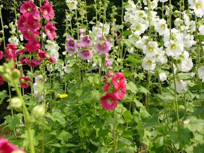 コケコッコ花