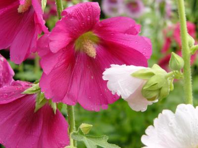 コケコッコ花2