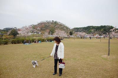 丸岡満開の桜222