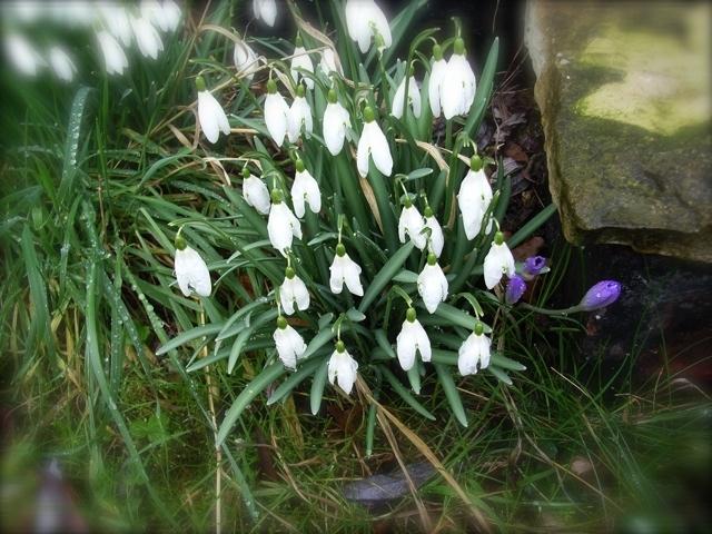 Snowdrops open (1)
