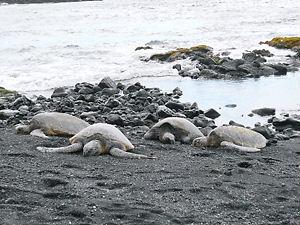 ハワイ島黒砂海岸のウミガメ