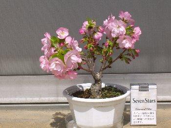H21・3月一才桜