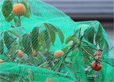 小庭の富有柿