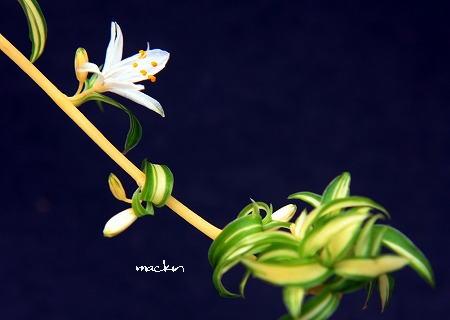 オリヅル蘭
