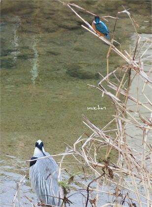 カワセミ&蒼鷺