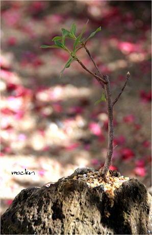ツツジの新芽