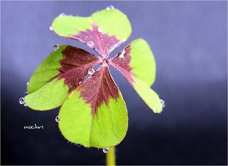 四つ葉のオキザリス