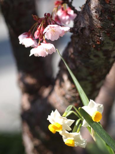 桜とスイセン