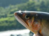 鮎の友釣り-鮎ヨリ