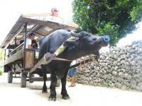 10.16竹富牛