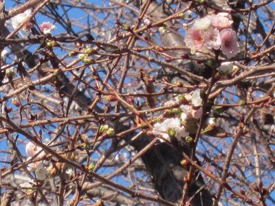 IMG_1881 ⑩ 寒桜