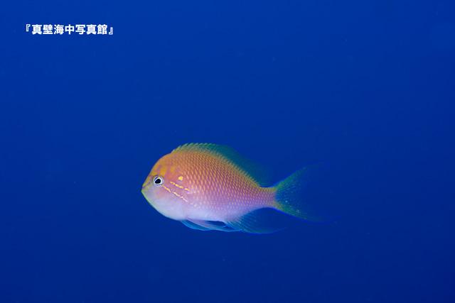 27-01★ハナゴンベ110908_3-22
