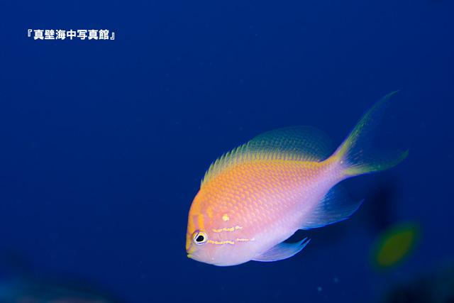 27-03★ハナゴンベ110908_3-13