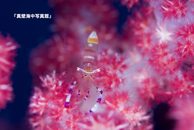 06★アカホシカクレエビ101227_2-11