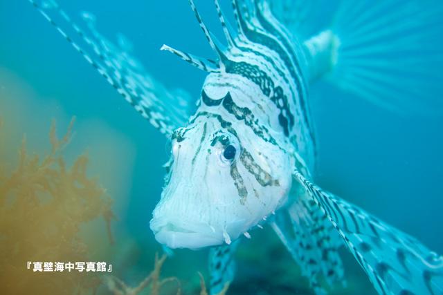 05-1★ミノカサゴ110718_1-01