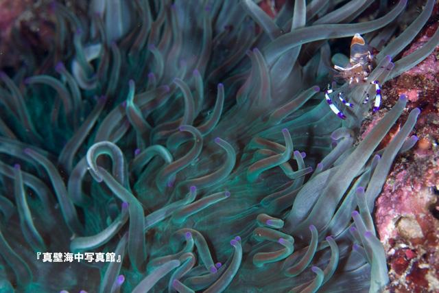 14-1★アカホシカクレエビ110819_1-03