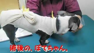 ぽてあ避妊手術 (1)