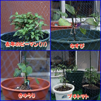 今年も 家庭菜園 (3)