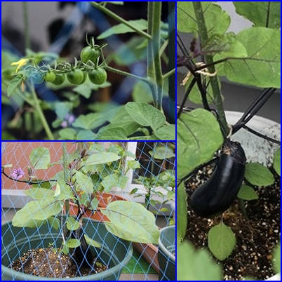 今年も 家庭菜園 (2)