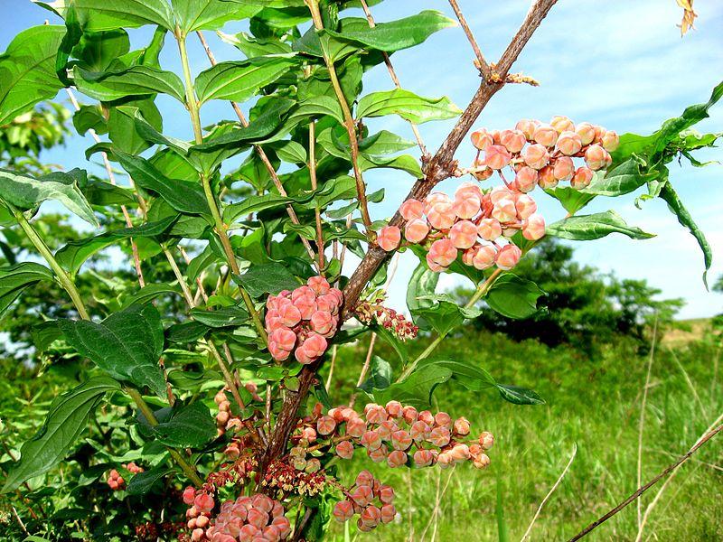 800px-ドクウツギ02_Coriaria_japonica