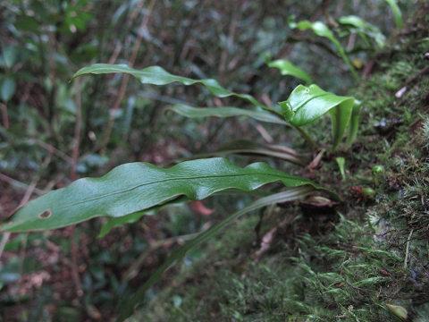 イワヤナギシダ2012.03-4