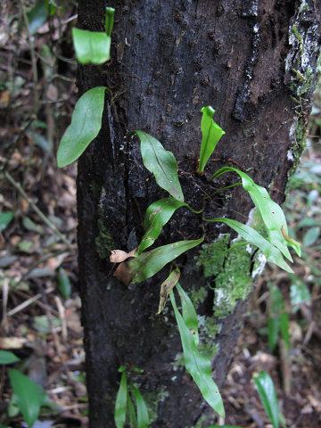 イワヤナギシダ2012.03-2