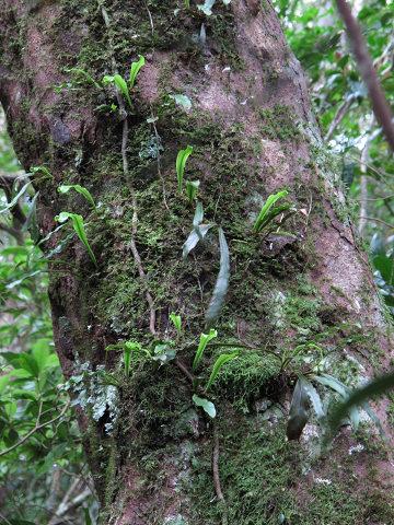 イワヤナギシダ2012.03-7