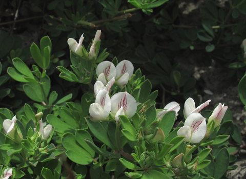 シロバナミヤコグサ2012.04-1