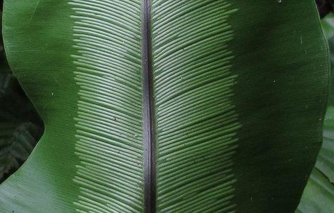 マオオタニワタリ2012.05-5