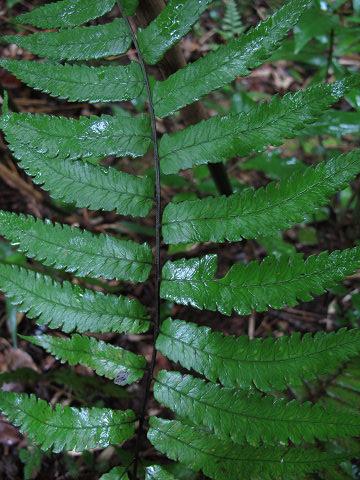 ミヤマノコギリシダ2012.08-5
