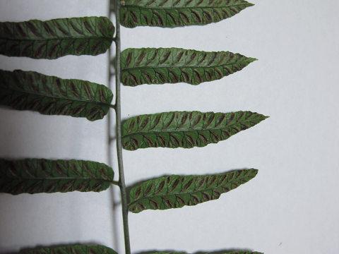 ホソバノコギリシダ2012.08-3