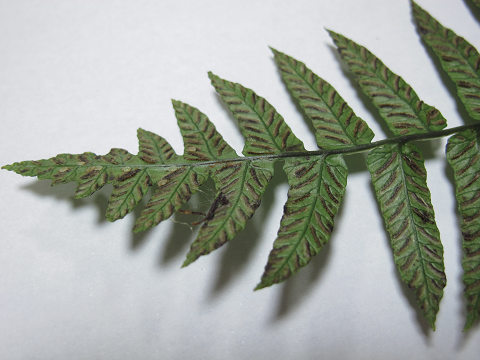 ホソバノコギリシダ2012.08-5