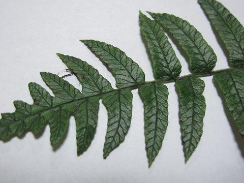 ホソバノコギリシダ2012.08-4