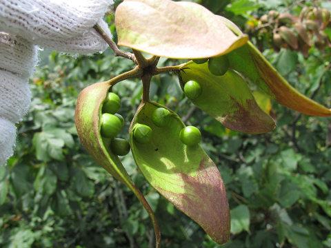 アオギリ2012.08-1