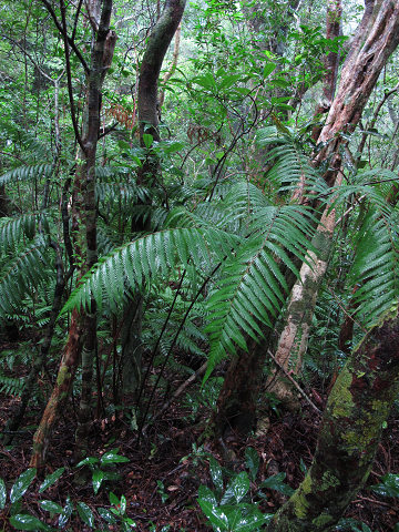 タカワラビ2012.08-1