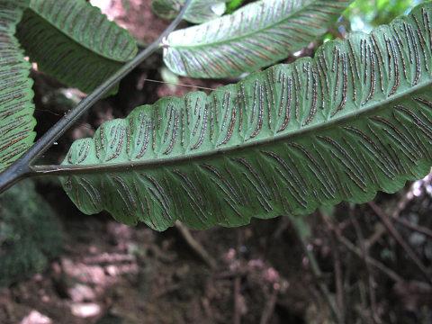キレバキノボリシダ2012.10-5